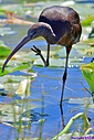 Glossy Ibis by Marilynne in Wildlife