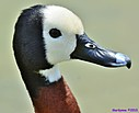 White Face Whistling Duck by Marilynne in Wildlife