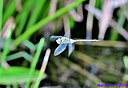 Great Pondhawk by Marilynne in Critters