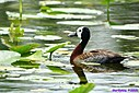 White Face Whistling Duck by Marilynne