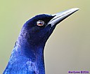 Male Grackle by Marilynne in Wildlife