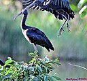 Glossy Ibis by Marilynne in Almost