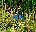 Purple Gallinule by Marilynne in Wildlife