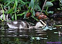 Juvenile Black Bellied Whistling Duck by Marilynne
