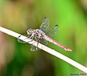 Roseate Skimmer by Marilynne in Critters