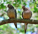Dove by Marilynne