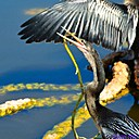 Anhinga by Marilynne in Wildlife