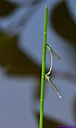 Rampurs Forktail by Marilynne in Critters