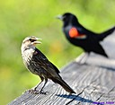 Juvenile Female Red Winged Blackbird by Marilynne in Wildlife