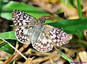 Tropical Checkered Skipper by Marilynne in Critters