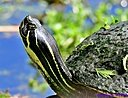 Turtle by Marilynne
