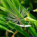 Spider Lily by Marilynne in Plants