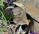 Gopher Tortoise by Marilynne in Wildlife
