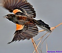 Red Winged Blackbird by Marilynne in Almost