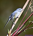 Blue Gray Gnatcather by Marilynne in Wildlife