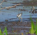 Lesser Yellowlegs by Marilynne in Wildlife