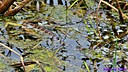 Florida brown banded water snake and Frog by Marilynne