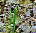 Florida brown banded water snake and Frog