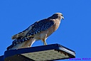 Red Shouldered Hawk by Marilynne in Wildlife