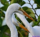 Juvenile Egret by Marilynne in Wildlife