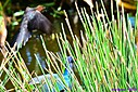 Female Grackle Purple Gallinule by Marilynne in Almost