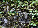 Momma Gator and her babies by Marilynne in Wildlife