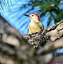 Red Bellied Woodpecker by Marilynne
