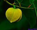 Pond Apple by Marilynne in Plants