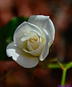 Rose by Marilynne in Plants