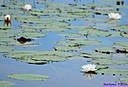 Water Lily by Marilynne