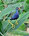 Purple Gallinule by Marilynne