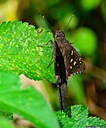 Long Tailed Skipper by Marilynne in Critters