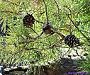 Pine Cone by Marilynne in Plants