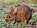 Marsh Rabbit by Marilynne in Critters