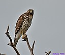 Immature Red Shouldered Hawk by Marilynne