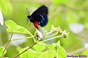 Atala Butterfly by Marilynne in Almost