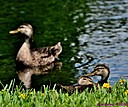 Mottled Duck by Marilynne in Wildlife