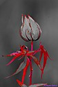 Turk's Cap by Marilynne in Plants