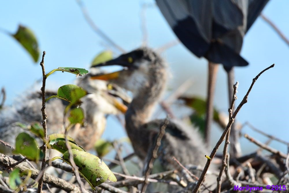 Juvenile Great Blue Heron by Marilynne in Almost