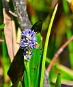 Bee on Pickerelweed by Marilynne