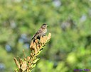 Female Red Winged Blackbird by Marilynne in Wildlife