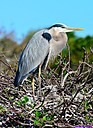 Momma Great Blue Heron and her babies by Marilynne