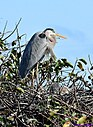 Juvenile Great Blue Heron by Marilynne in Wildlife