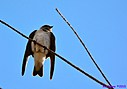 Purple Martin by Marilynne in Wildlife