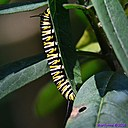 Monarch Caterpiller by Marilynne in Critters