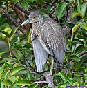 Juvenile Black Crovwned Night Heron by Marilynne in Wildlife