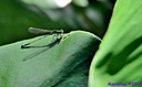 Rambur's Forktail by Marilynne in Critters