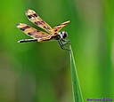 Halloween Pennant Dragonfly by Marilynne in Critters