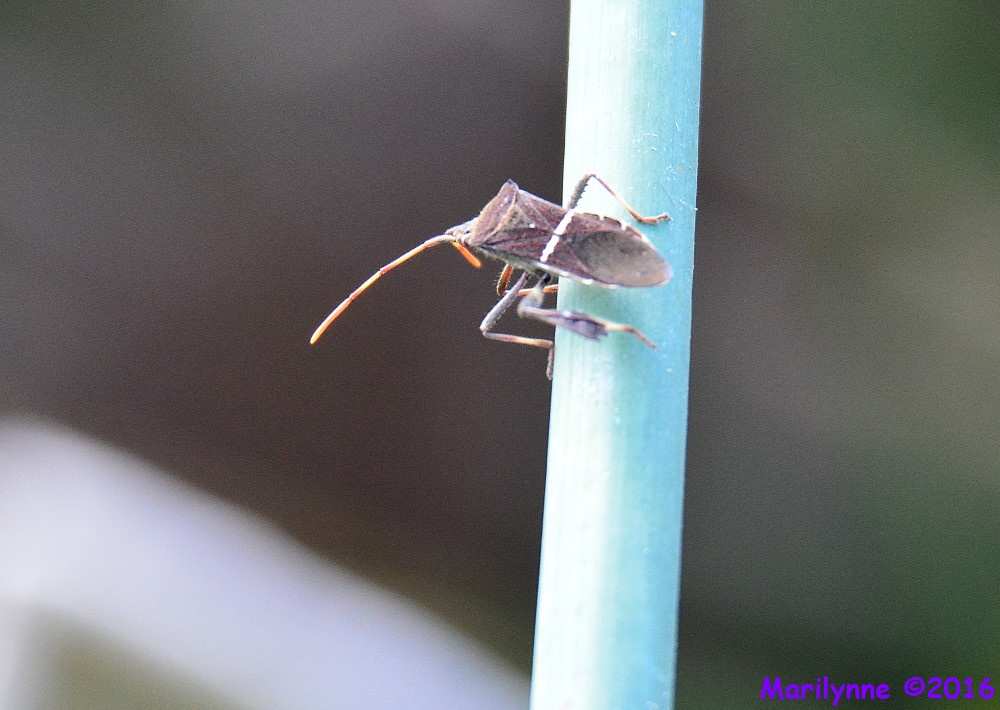 Florida Leaf Footed Bug by Marilynne in Critters