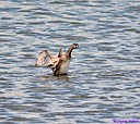 Pied-Billed Grebe by Marilynne in Wildlife